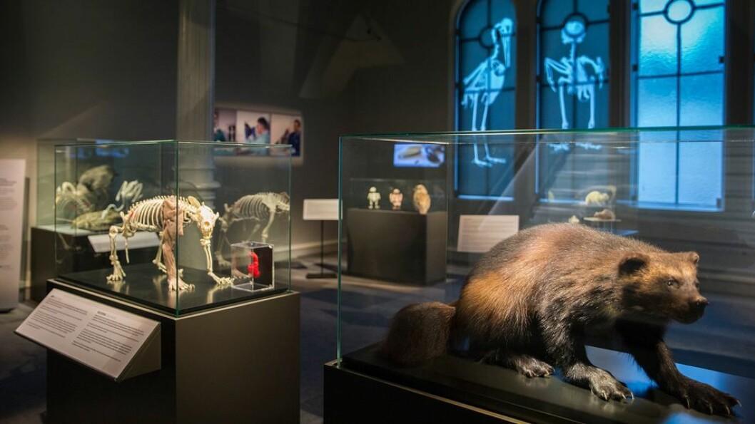 Vitenskapsmuseet har hatt godt med besøk på utstillingene sine i juni og juli - etter en svært koronastille vår. Bilde fra en av VMs utstillinger.