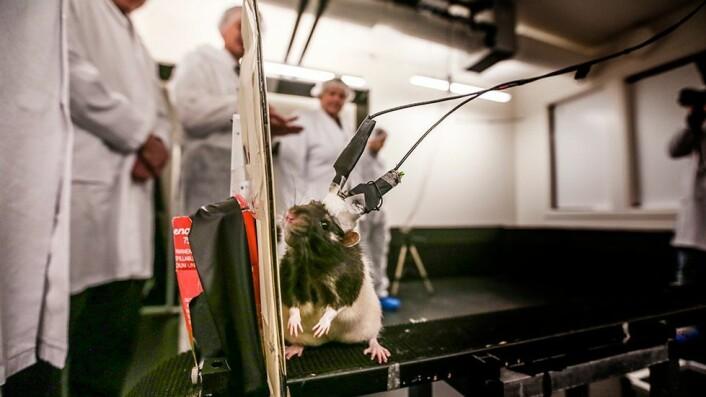 Mye av forskningen ved Moser-laben dreier seg rundt gridceller. Rottene får operert inn måleutstyr i hjernen, men ser ikke ut til å plages voldsomt av dette. Ifølge Moser-paret er dyrenes velferd svært viktig for å få god forskning.