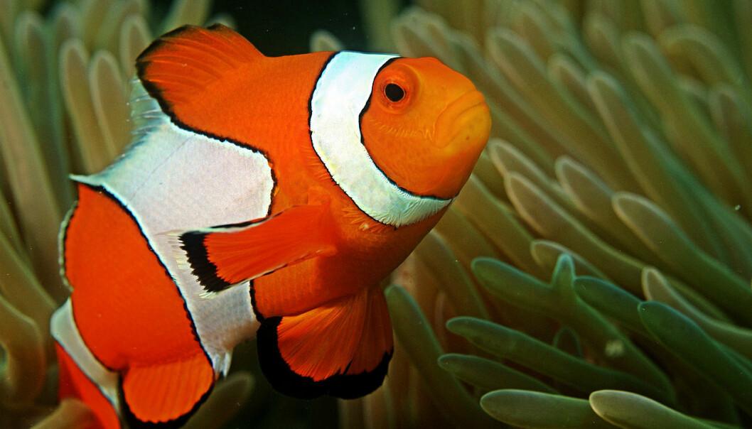 En klovnefisk svømmer rundt i et korallrev i fred og ro. Det er likevel store havpattedyr og virvelløse dyr som kan være mest rammet.